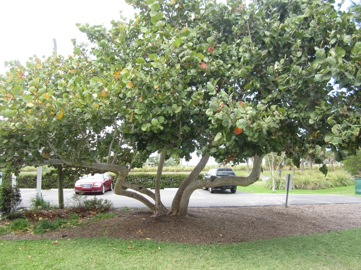 17 best images about plants of jamaica shade trees on for Best small shade trees