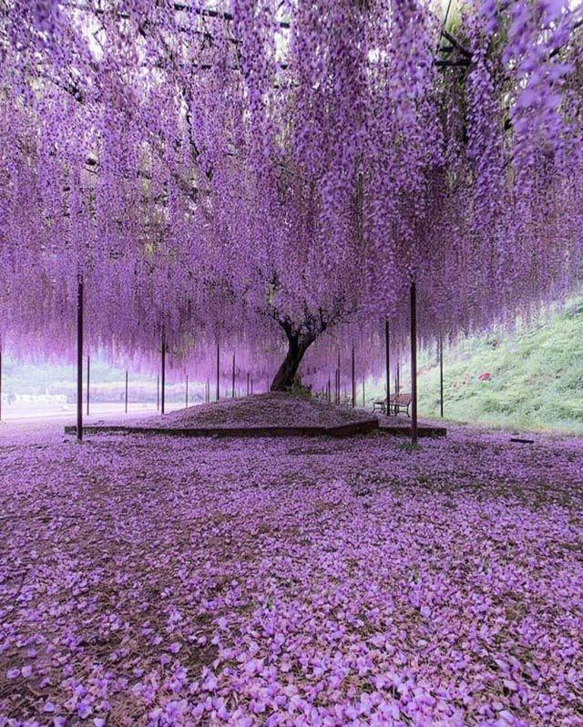 「おとぎ話に入りこんだかと」 兵庫県のお寺にある『藤』を、外国人が大絶賛! – grape [グレイプ]