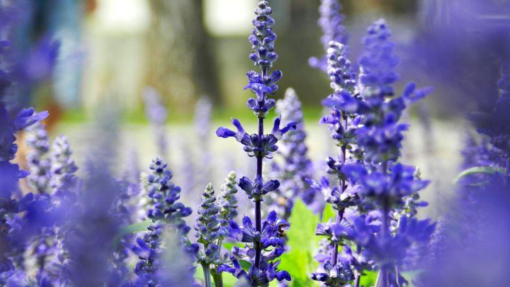 Beautiful field at Szentendre, Hungary  #field #purple #flower #summer #Hungary