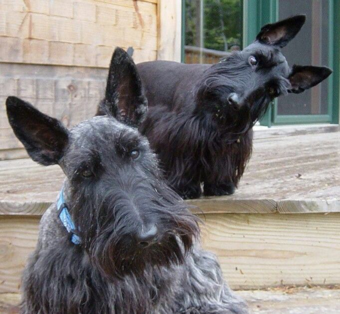 Opposite head tilt by silly Scotties... love it!
