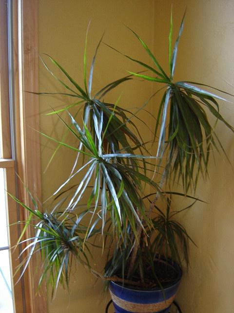 Useful tips for house plant care: Madagascar Dragon Tree