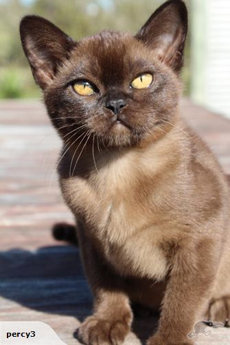 Beautiful Burmese Kittens For Sale | Trade Me