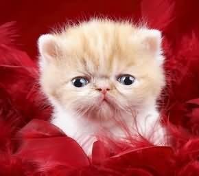 導讀:小貓咪跟成貓餵養方法不相同,小貓抵抗力較差,一定要保證隨時有新鮮的飲用水。如果只吃餅乾不喝水會導致貓脫水。進食過多過少都對您的貓仔健康不利。請不要給它太多的奶。它也許喜歡喝,但喝多了會造成腹瀉。