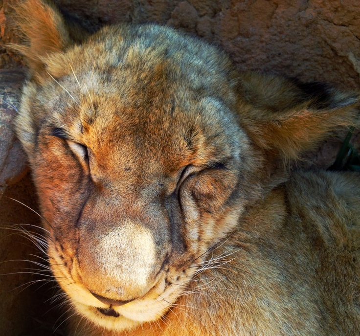 The first wild lion cubs born in the Southern Cape for the last 150 years... wow!