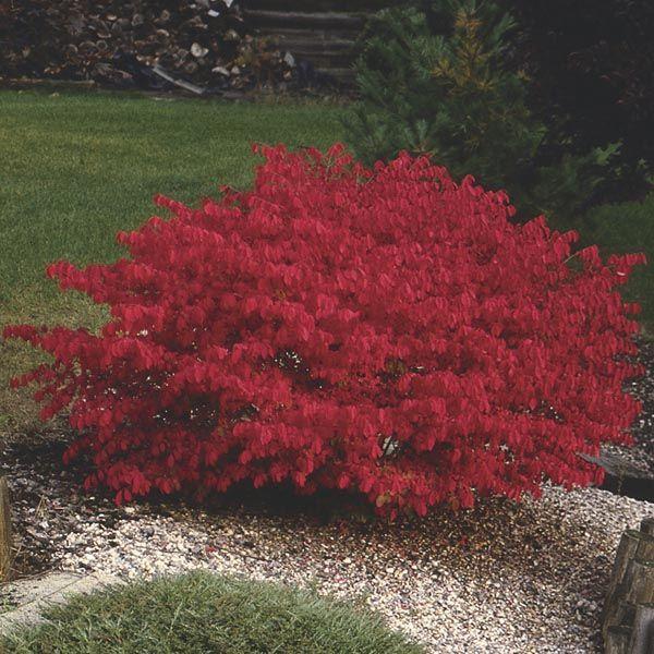 Best 25 Burning bush ideas on Pinterest Dwarf burning bush
