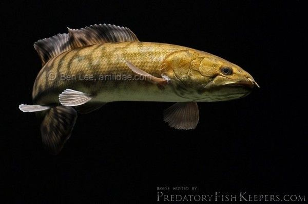 9 best beluga sturgeon a fresh water fish can weigh in at for Water dog fish