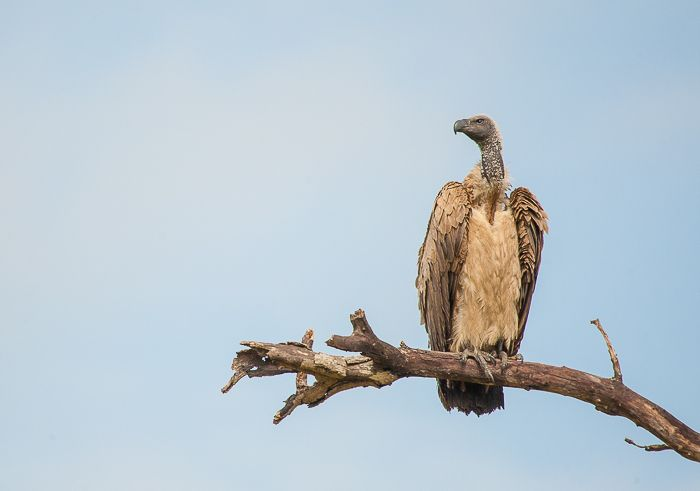 Scavenger of the Sky: A White-Backed Vulture. Photograph by Trevor Ryan McCall-Peat