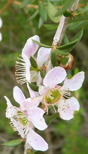 flowered tea tree