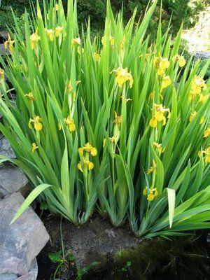 Plantas aquáticas - Iris aquática www.casaecia.arq.br ...