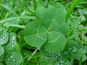 Establishing White Clover in Lawns (to replace turf-grass)