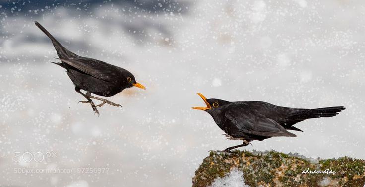 Karatavuk - Common Blackbird - Turdus merula by aatac via http://ift.tt/2jZLATj