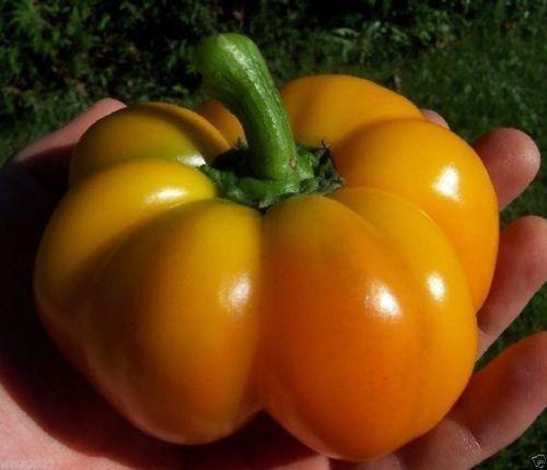 Sweet Pepper,TANGERINE PIMENTO PEPPER ~20 Seeds(Capsicum annuum) Open-pollinated