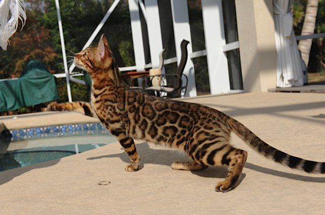 Wild Beach Bengal Cat Breeder | Bengal Cats for Sale | Brown Spotted Bengal Kittens and More