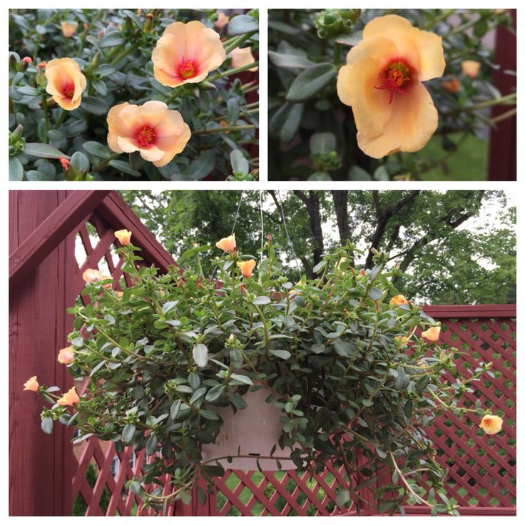 Apricot Margarita Portulacas or Moss Roses in a hanging basket.