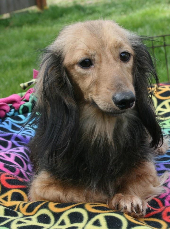 Longdox Creams Doxie puppies, Dachshund puppies, Puppies
