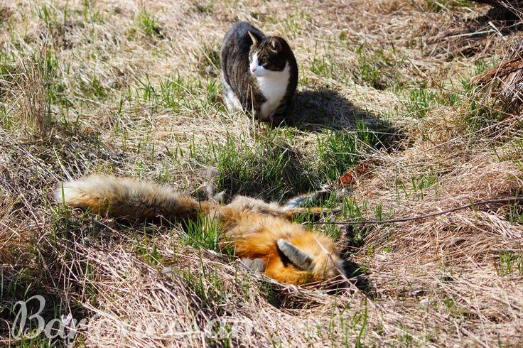Katt och räv. Cat and fox