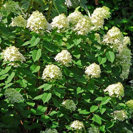 Limelight Hydrangea Tree for Sale