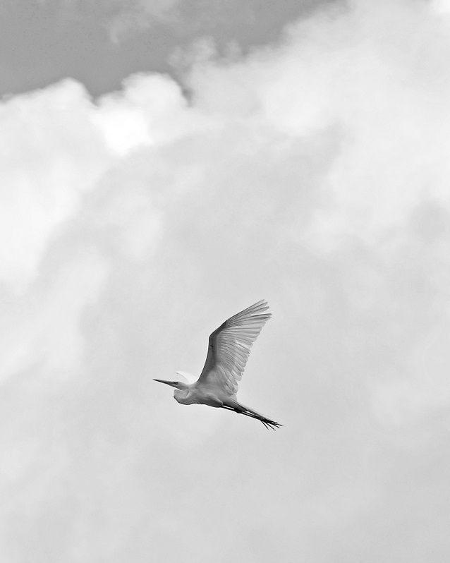 A soaring Egret against the clouds, taken in Central America
