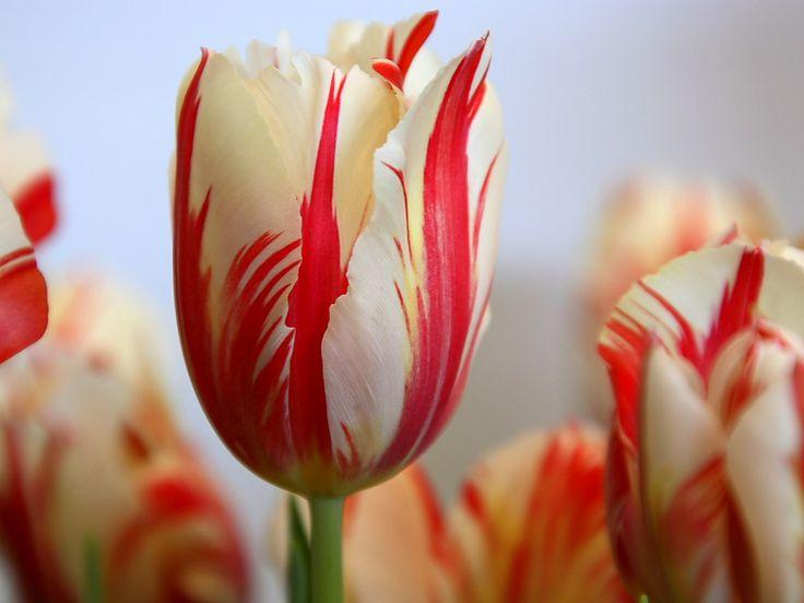 Tulips Flowers | more flowers crocus daffodils how to groom a flower garden cymbidiums ...