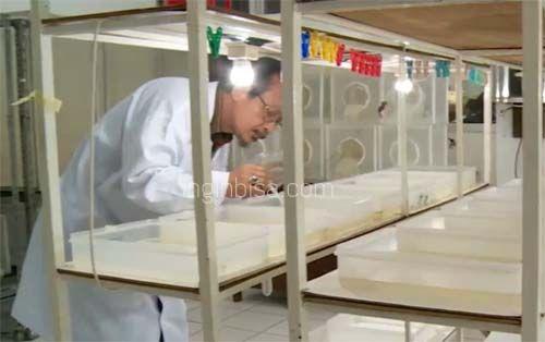 Membasmi Demam Berdarah Dengue Dengan Nyamuk Mandul