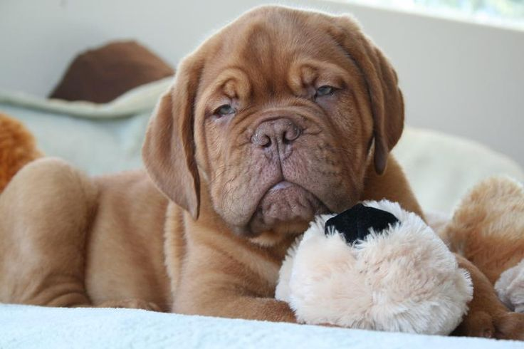 Dogue de bordeaux......so want one
