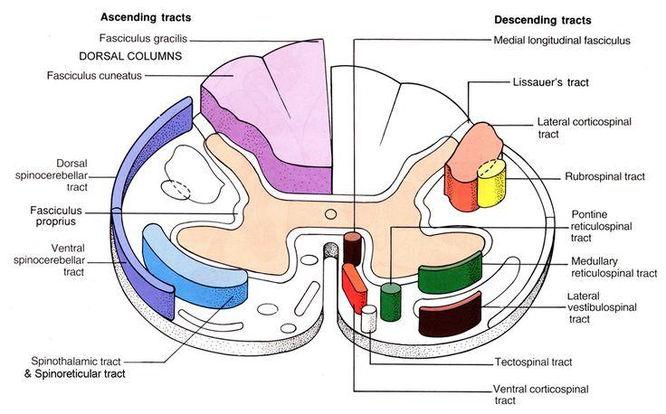 NEUROSCIENCE: MOTOR SYSTEMS -- Primary Motor Cortex