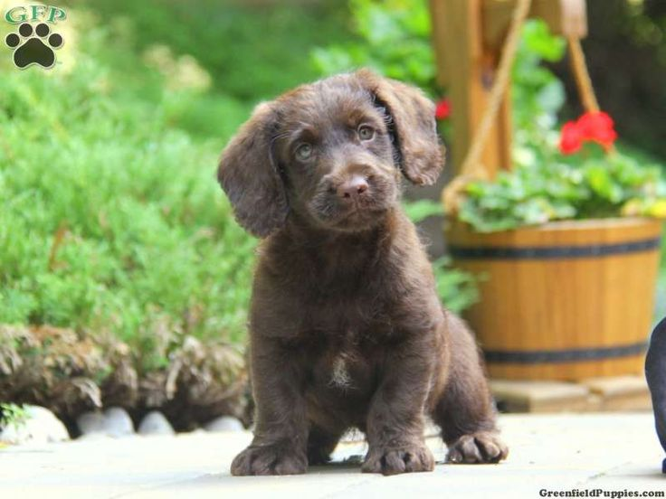 Camden mini labradoodle puppy for sale from honey brook