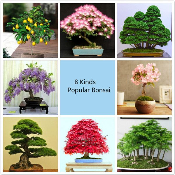 8 kinds ᗚ Bonsai Tree Seeds, 220 seeds, Perfect DIY ✓ Home Garden Bonsai package 8 kinds Bonsai Tree Seeds, 220 seeds, Perfect DIY Home Garden Bonsai package