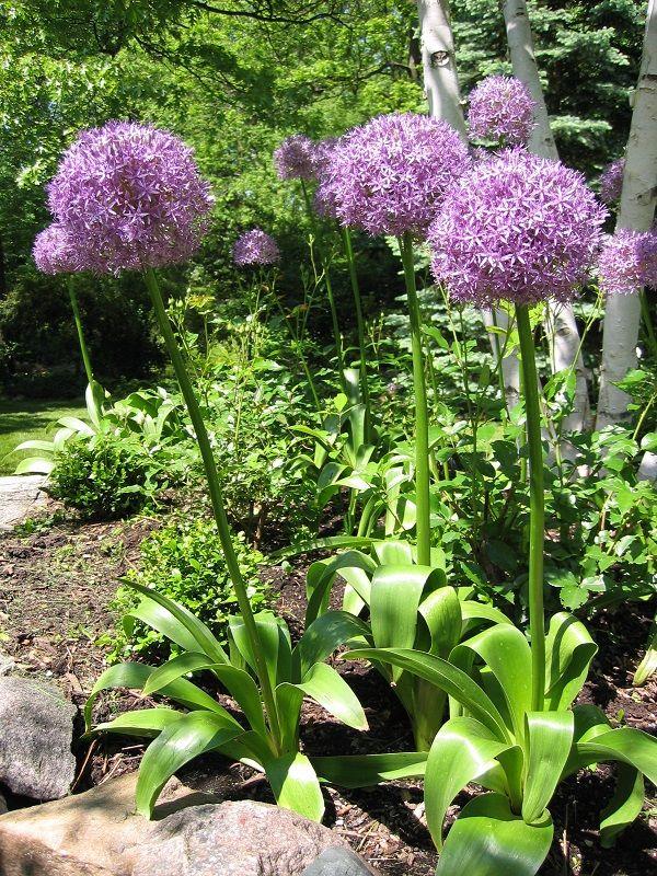 Best 25+ Allium Flowers Ideas On Pinterest | Purple Garden, Easy To Grow  Bulbs And Garden Bulbs