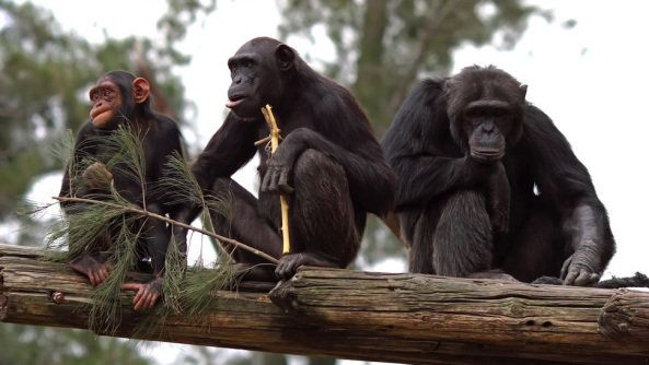 The ultimatum game is the ultimate test of fairness, and chimpanzees passed the test by going for the fair options.