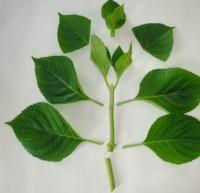 Hortensia hydrangera bouturer