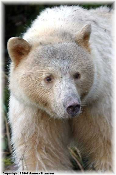 """The Kermode bear (pron. kerr-MO-dee), also known as a """"spirit bear"""" (particularly to the Native tribes of Alaska), is a subspecies of the American Black Bear living in the central and north coast of British Columbia, Canada. It is noted for about 1/10 of their population having white or cream-coloured coats."""
