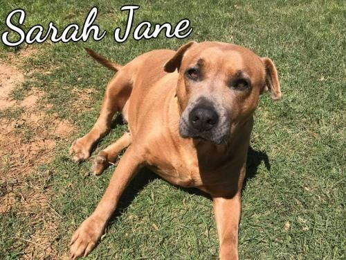 Sarah Jane - THIRD COAST ANIMAL RESCUE in Spanish Fort, AL - ADOPT OR FOSTER - 2 year old, 50lb., Spayed Pit Bull - Due to a birth defect (or old injury) to her hind feet, Sarah Jane walks with a bit of a limp (and so DO I). She's not in any pain & gets along just like any other dog. Sarah Jane's incredibly sweet & loving. She enjoys spending time lounging & napping with an occasional romp around the yard. Sarah Jane adores her people & gets along great with other dogs.