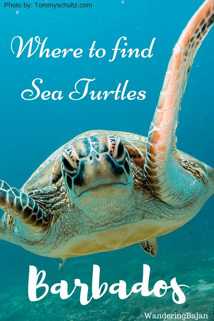 Where to swim with sea turtles in Barbados. Top locations to swim with sea turtles for free in Barbados | Sea turtles Barbados | Barbados Sea turtles | swimming with turtles | swim with turtles | Barbados turtles | Turtles in Barbados