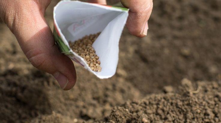 Что посеять и посадить в огороде в августе | На грядке (Огород.ru)