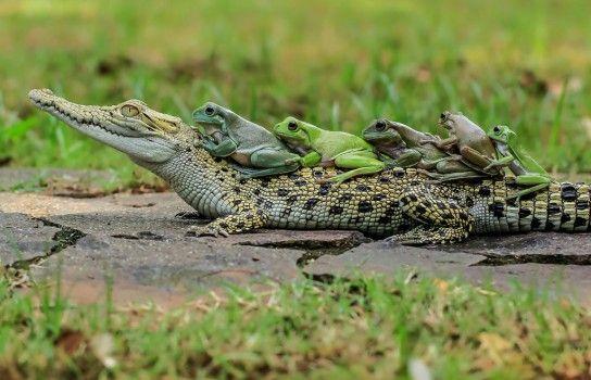 Des grenouilles dansent la polonaise sur un crocodile: ces cinq amphibiens bravent le danger en rythme. Ces rainettes de White semblent danser la polonaise – sur le dos d'un crocodile marin! Le photographe amateur Tanto Yensen (36 ans) a réussi à prendre ces clichés amusants au cours d'une escapade dans la ville indonésienne de Tangerang. «C'était vraiment extraordinaire! Pour prendre de telles photos, il faut rester immobile pendant longtemps et faire preuve de beaucoup de patience.»…