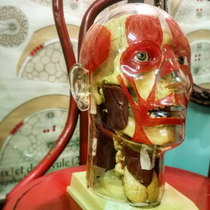 The visible head! Tell me this vintage oddity doesn't bring a lopsided grin to your face!  #thevisablehead #vintage_vanblair #vintageanatomy #medical #vintage #oddities #anatomyandphysiology #strange (at Vintage VanBlair Antiques & Oddities)