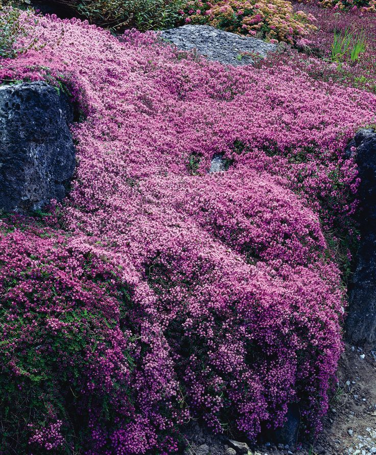 Creeping Thyme. Plant in full sun to partial shade. Blooms all summer long. Will tolerate all soil types, is drought tolerant. This old-fashioned perennial has a year round display of color. In early summer the plants are covered with stunning pinkish-rose flowers that last until the first hard frost. The stunning foliage stays all through the winter months. A very hardy perennial that attracts butterflies.