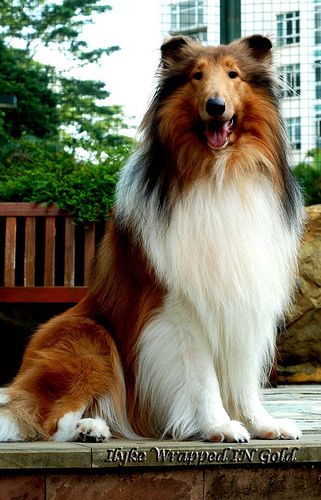 CH Ilyke Wrapped in Gold_ Collie(Rough) by digimaur, via Flickr