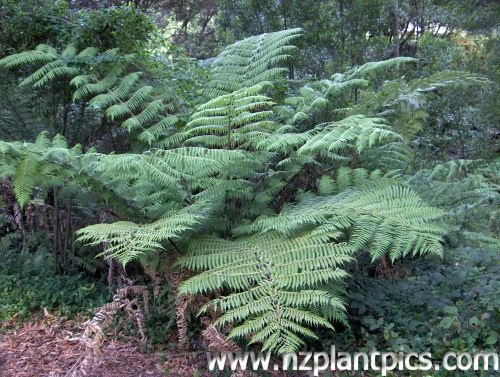 Cyathea dealbata - Silver Fern    Silver Tree Fern, ponga. New Zealand's National Emblem. The silver fern leaf has distinctive silver undersides. Can reach 10m tall. Fronds 2-4m in length. Shelter, semi-shade and moist soil best suit this tree fern.
