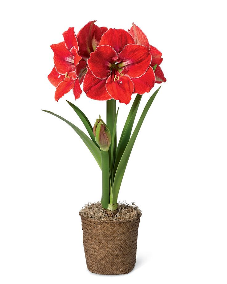 Magical Touch Potted Amaryllis