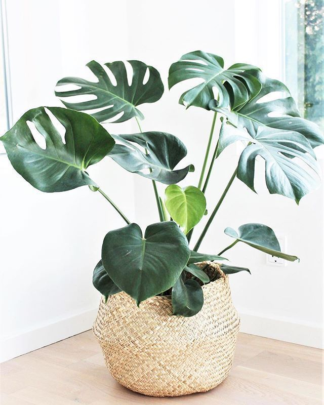 Bananenplant – Kamerplant – Inspiration // Plants…