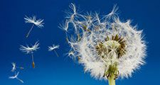 Dandelion with seeds blowing in the wind.  Seed dispersion.