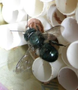 mason bee - great link to Texas wasp and bee identification list.  We have a bunch of Mason Bees in our Turks Cap, July 2016.  They are huge!  They hum beautifully.