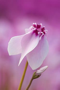 ciclamino timida speranza (il linguaggio segreto dei fiori by Vanessa Diffenbaugh)