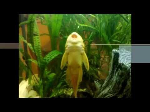 Aquarium catfishes and other fish.
