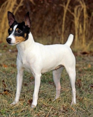 Toy fox terriers are an outgoing and friendly, yet fiercely loyal to their families. They are content and capable of any range of activities from hunting, to obedience, to just lounging around in the sun (or on the sofa).