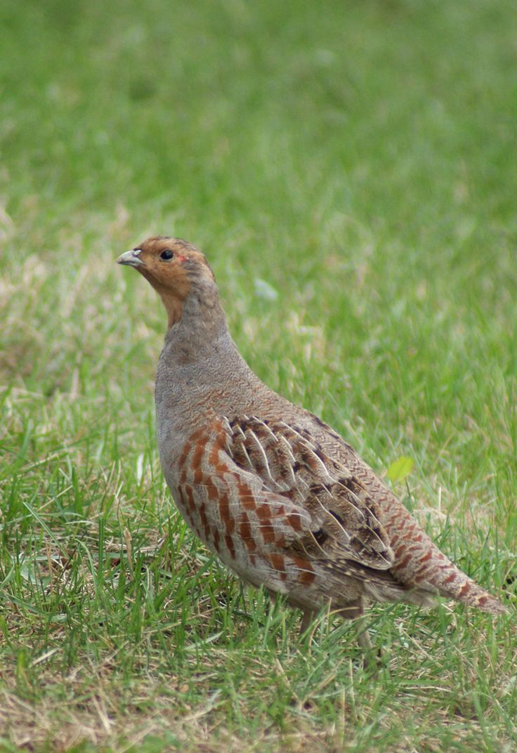 Uncommon Grey partridge (Perdix perdix)