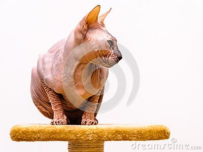 Sphinx cat breed on pet shop stand, tongue out of mouth, isolated white background.