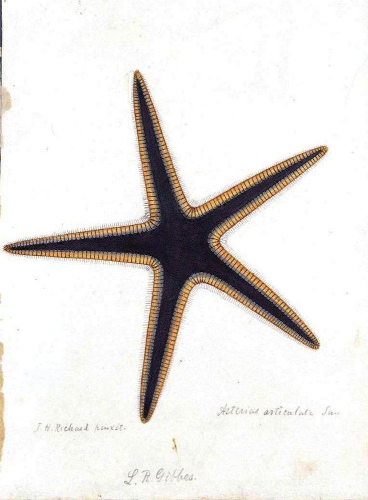 Animal - Sea shell - Starfish, drawing 2